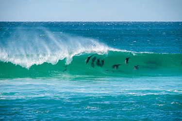 Pod of dolphins surfing a wave